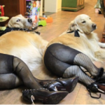 Dogs Wearing Pantyhose Is A New Hosiery Trend From China