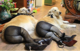 Dog Pantyhose Meme